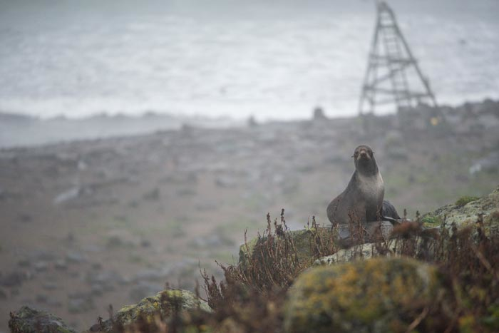 A Northern Fur Seal sits high atop Hutchinson Hill.