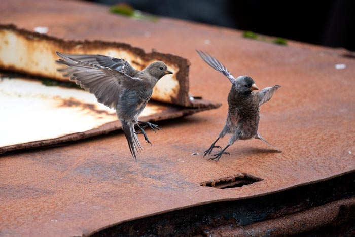 An immature and an adult Gray-crowned Rosy-Finch squabble for rusty turf.