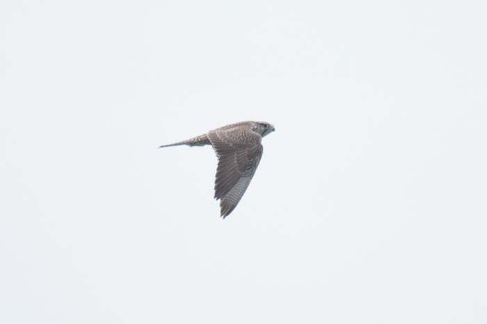 This Gyrfalcon wandered widely over the island during our tour. We saw it on about half of the days.