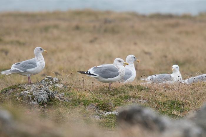 Vega Herring Gull, St. Paul Island, Alaska.