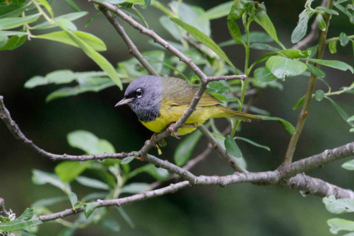 MacGillivray's Warblers are fairly common skulkers in the dense thickets around Hyder. Photo Steve Heinl.