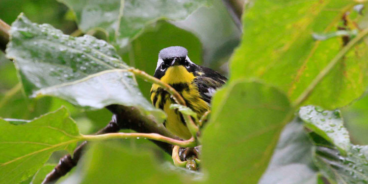 A Magnolia Warbler peers through the vegetation at Hyder, Alaska. Photo Steve Heinl.