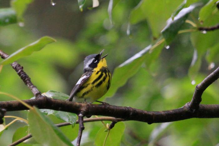 A singing male Magnolia near Hyder. Photo Steve Heinl.