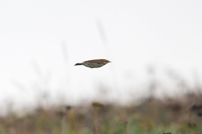 An Olive-backed Pipit was an exciting evening find on our tour!