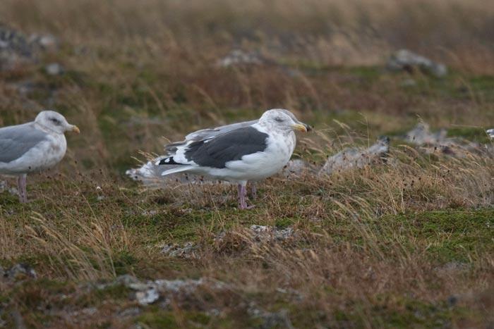 Adult Slaty-backed Gull, St. Paul Island, Alaska.