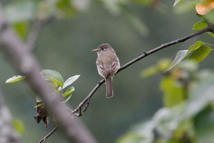 A Willow Flycatcher in Hyder! Photo Steve Heinl.
