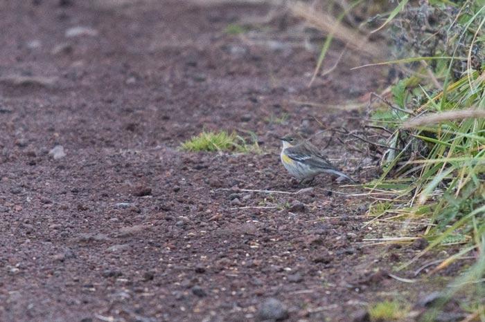 Yellow-rumped Warbler is a rare but regular fall stray from mainland Alaska.