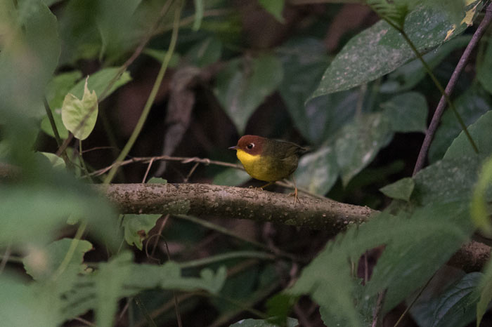 Chestnut-headed Tesias can be real skulkers, but on this trip we got great views on several occasions.