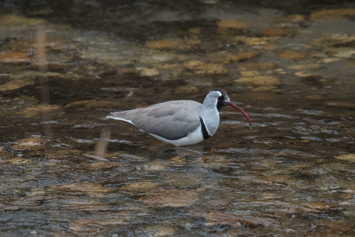 The beautiful Ibisbill is a high elevation shorebird, endemic to the Himalayas.