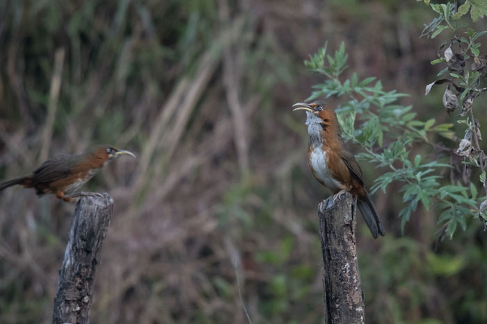 Rusty-cheeked Scimitar Babblers serenade us just after dawn.