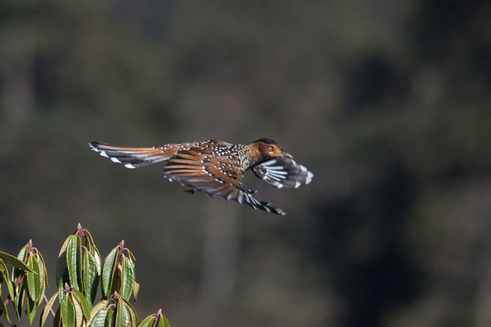 Spotted Laughingthrush is one of the most striking laughingthrushes in Bhutan.