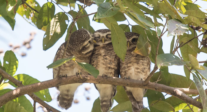Spotted Owlet at a day roost was one of the true highlights and surprises of the trip!