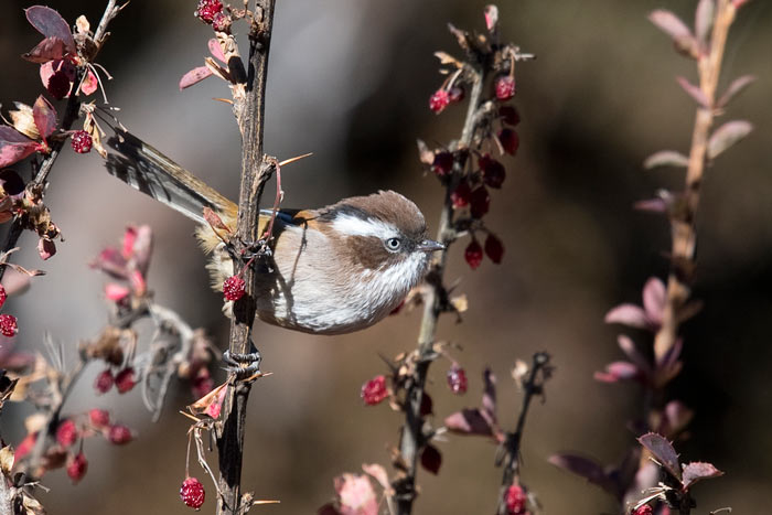 White-browed Fulvetta are fairly common at and near treeline in Bhutan.