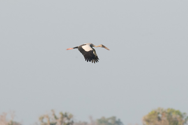 Asian Openbill is one of the most common birds at Prek Toal.