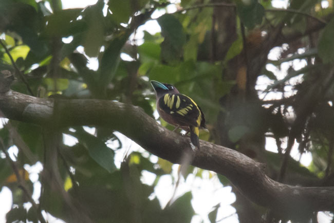 We saw Banded Broadbill on tour occasions on our tour. This bird was along the river near Tmatboey.