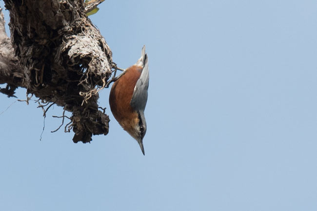 Burmese Nuthatch at Tmatboey.