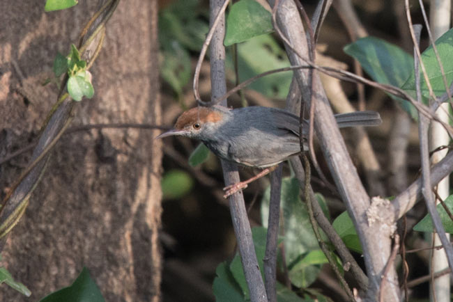 The Cambodian Tailorbird was discovered in 2009 scrubby fields outside of Phnom Penh. It wasn't formally described for science until 2013 and made for a fitting final target of our tour.