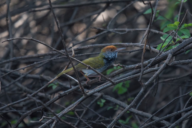 A Dark-necked Tailorbird in the dark shadows of Prek Toal.