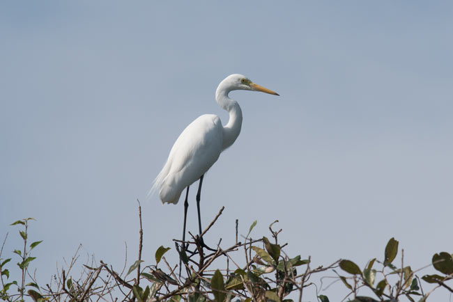 Intermediate Egret, Prek Toal waterbird colony.