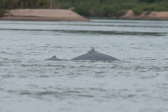 Irrawaddy Dolphins can still be found in the wide Mekong River at Kratie.
