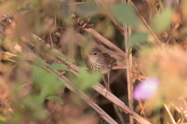 A skulking Lanceolated Warbler in the rice paddies near Siem Reap.