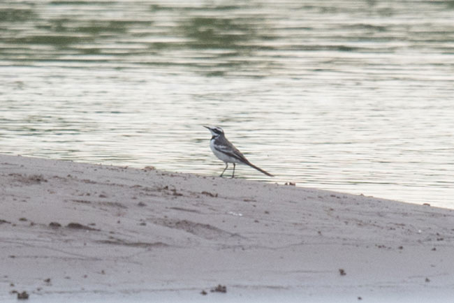 The recently described Mekong Wagtail is only found along the sandy islands of the Mekong.