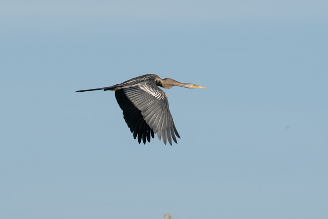 Oriental Darters struggle through much of their original range but are still common at Prek Toal and Tonle Sap.