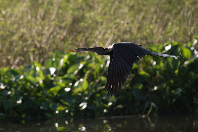 An Oriental Darter cruises past our boat on our morning trip to Prek Toal.