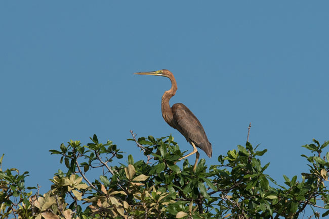 A showy Purple Heron at Prek Toal waterbird colony.
