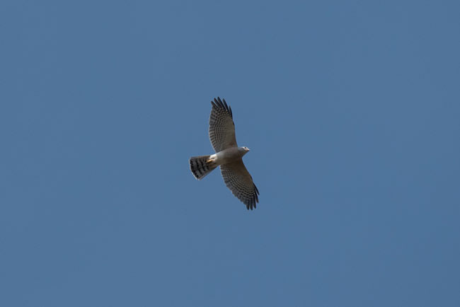 Shikra was one of the commonest raptors we encountered.