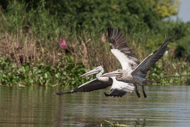 Tonle Sap Lake and the Prek Toal Waterbird Colony is home to hundreds of Spot-billed Pelicans.