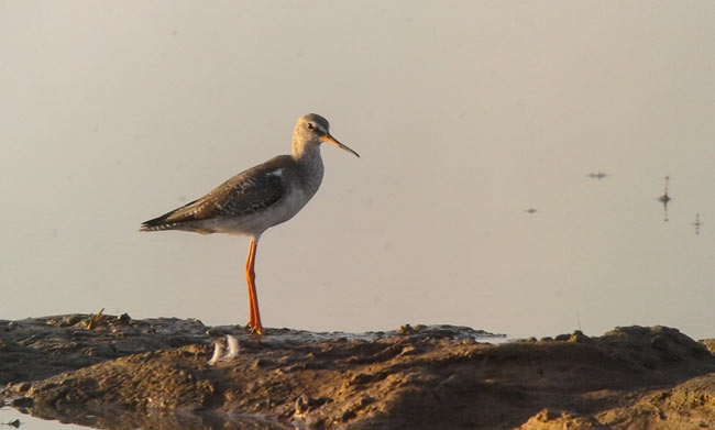Winter plumage Spotted Redshank, Cambodia.