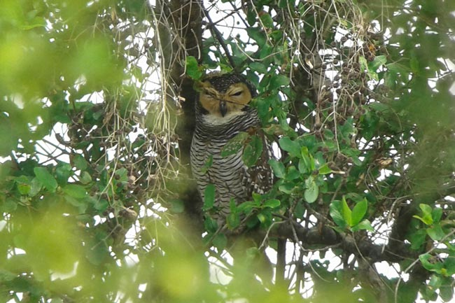 We leisurely watched this Spotted Wood Owl at a day roost for nearly an hour. What a great way to see owls!