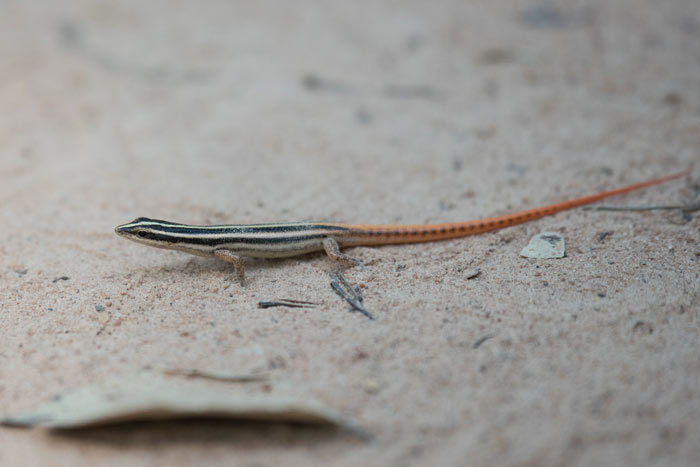 Small lizards were common throughout our tour. Here's a striped tree skink (Lipinia vittigera).