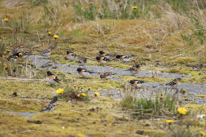 Bramblings made headlines at Adak this year. Perhaps over 100 Bramblings were around the town and road system during our trip and we saw several large flocks right around our house. Photo Aaron Lang.