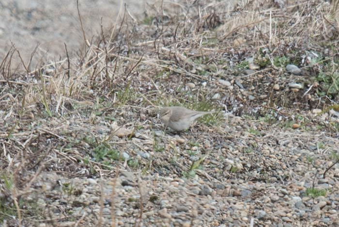 We had two Common Chiffchaffs at Gambell this spring, making a total of nine records for Gambell. All of these since 2012. Photo Aaron Lang.