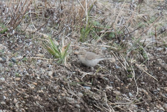 This drab little bird caused quite a lot of excitement on the island...Common Chiffchaff! Photo Aaron Lang.