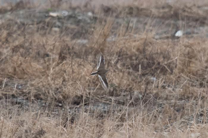 Common Sandpiper in flight. Photo Aaron Lang.