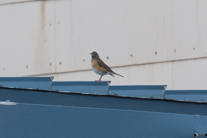 An Eyebrowed Thrush perches in the open, a seemingly strange behavior for the species. Photo Aaron Lang.