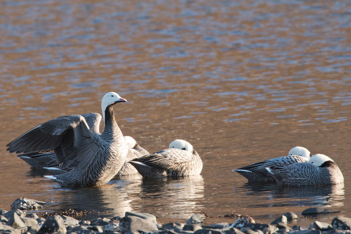 Emperor Geese stretch in the morning light at Kodiak. Photo Lucas DeCicco.