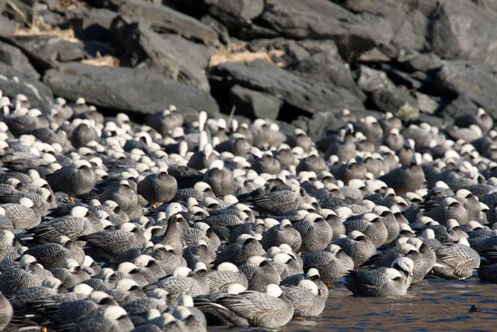 Large flocks of Emperor Geese winter on Kodiak Island. Photo Lucas DeCicco.