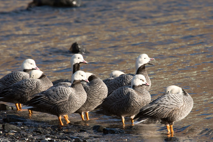 Is this our most beautiful goose? Emperor Geese on Kodiak Island. Photo Lucas DeCicco.