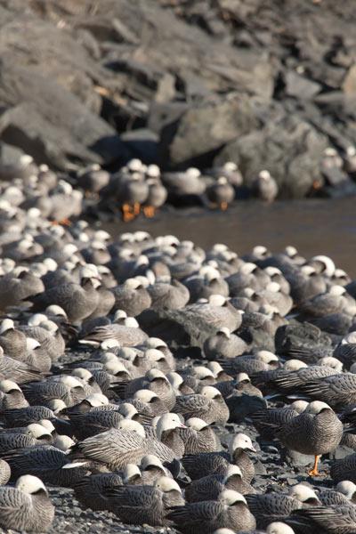 Over 1,000 Emperor Geese winter on Kodiak Island. Photo Lucas DeCicco.