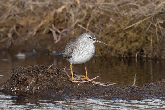 This cooperative Gray-tailed Tattler was one of at least three around during our stay at Gambell this spring. Photo Aaron Lang.