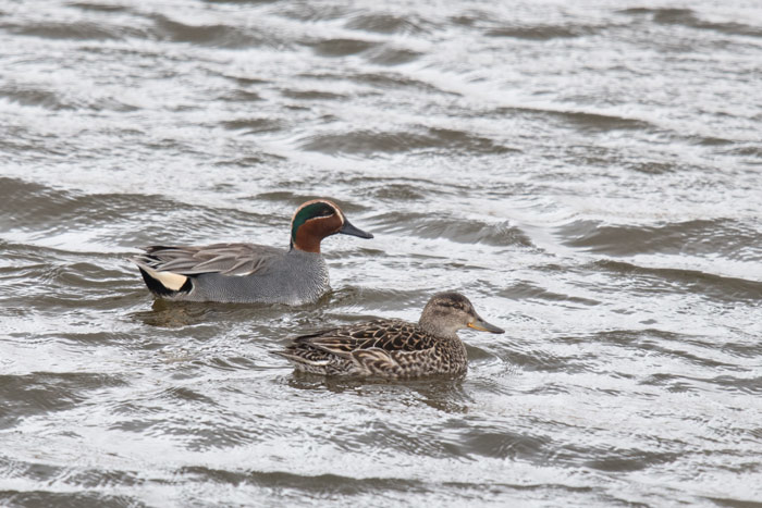 Green-winged Teal in the Aleutian Islands are of the race crecca,