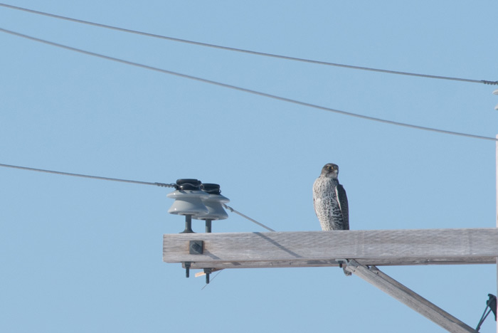 A pair of Gyrfalcons just outside of Nome was a very nice surprise on this short trip. Photo Lucas DeCicco.