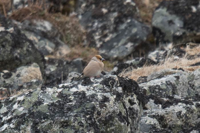 Our first group experienced Hawfinches everyday of the trip, with at least ten different birds around the village. Photo Aaron Lang.