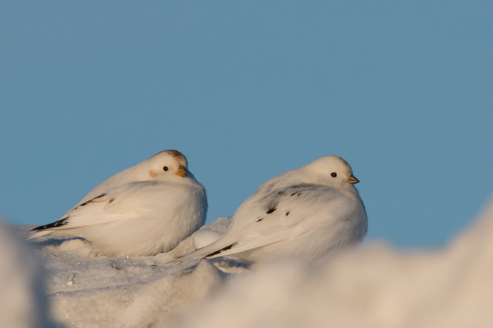 McKay's Buntings at Nome, where they winter and outnumber Snow Buntings. Photo Lucas DeCicco.