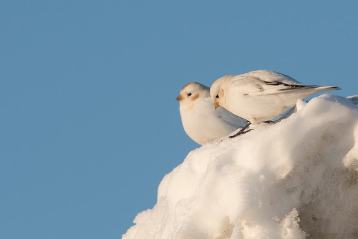 McKay's Buntings outside Nome. Photo Lucas DeCicco.
