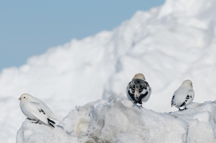 Finally, a Snow Bunting in the small flocks of McKay's Buntings! What a problem to have! Photo Lucas DeCicco.
